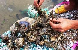 Phú Yên hỗ trợ lãi suất cho các hộ dân nuôi tôm hùm
