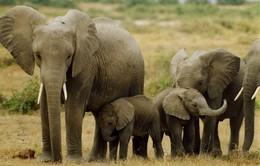 Quảng Nam: Đầu tư hơn 128 tỷ đồng bảo tồn loài và sinh cảnh voi