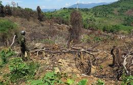 Nghịch lý trồng rừng gây tổn hại môi trường ở nhiều địa phương