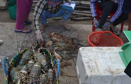 Tôm hùm chết hàng loạt chưa rõ nguyên nhân tại Phú Yên