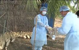Phát hiện ổ dịch cúm A/H5N1 trên đàn gia cầm tại Bạc Liêu