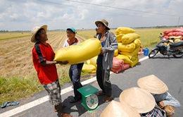 Giá lúa ở ĐBSCL tiếp tục tăng cao