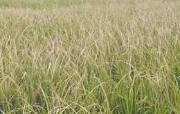 Thái Bình: Gần 18.000ha lúa nhiễm bệnh lùn sọc đen