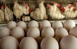 Hà Lan: Các trang trại nuôi gà thiệt hại hơn 30 triệu Euro