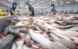 Giá cá tra nguyên liệu vẫn ở mức cao
