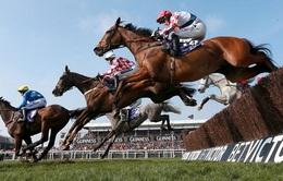 Kịch tính tại lễ hội đua ngựa truyền thống Cheltenham 2017