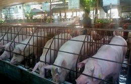Không được tiêm vaccine lở mồm long móng, lợn bán ra bị thương lái ép giá