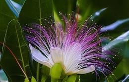 Ngắm hoa bàng vuông lung linh trong gió biển Trường Sa
