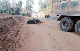 Bảo vệ môi trường sống cho động vật sau vụ bò tót bị tông chết