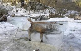 Rơi xuống hồ nước, chú cáo đáng thương bị đóng băng