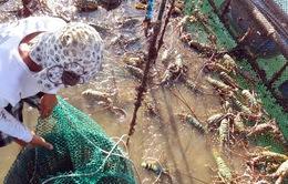 Phú Yên: Khó khăn bảo vệ tôm hùm trong mùa lũ