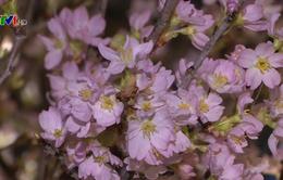 Hoa anh đào Nhật Bản khoe sắc trong lòng Thủ đô