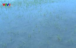 Bạc Liêu mở cống xả nước cứu lúa