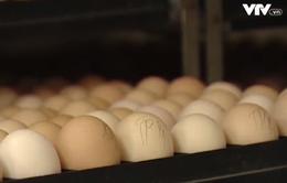 Bảo quản trứng gia cầm giống trong mùa nắng nóng