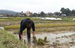 Bình Định hỗ trợ 1.400 tấn lúa giống vụ Đông Xuân