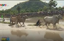 Sôi động lễ hội đua bò chùa Rô, tỉnh An Giang