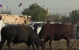 Độc đáo giải đấu bò thân thiện ở UAE