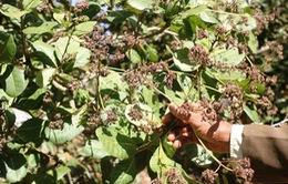 Lâm Đồng: Công bố hết dịch bọ xít hại cây điều