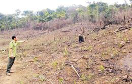 Phổ biến nạn đổ hóa chất phá hoại rừng thông ở Lâm Đồng