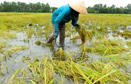 Hàng nghìn ha lúa ở ĐBSCL bị ngập do mưa bão