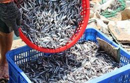 Quảng Trị: Cá cơm đầu năm được giá