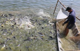 Khó khăn trong kiểm soát chất lượng cá tra giống