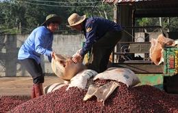 Giá cà phê lên mức cao nhất trong vòng 6 năm qua