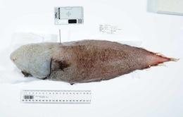 """Phát hiện """"cá không mặt"""" dưới đáy biển sâu ở Australia"""
