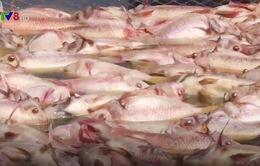 Cá nuôi chết hàng loạt tại Đà Nẵng: Thiệt hại ban đầu trên 3 tỷ đồng