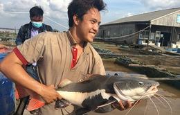 Cần Thơ: Lão nông sở hữu hàng chục con cá trê tiền tỷ