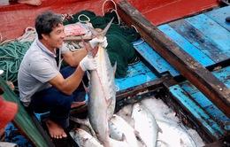 Một ngư dân Quảng Trị trúng mẻ lưới cá thu bè 6 tỷ đồng