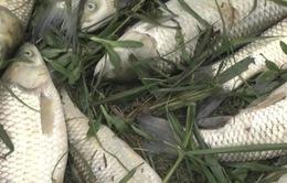 Nghệ An: Cá chết hàng loạt sau sự cố vỡ bể lắng chất thải quặng