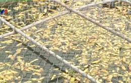Vụ cá chết trên sông Chà Và: Doanh nghiệp phải bổi thường 5,5 tỷ đồng