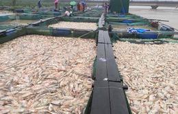 """Thừa Thiên Huế: Hàng trăm tấn cá """"chết trắng"""", bị lũ cuốn trôi"""