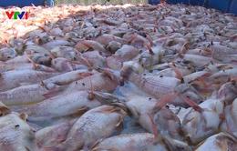 Cá chết hàng loạt trên sông Cổ Cò, Đà Nẵng
