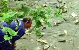 Cá chết bất thường tại nhiều ao nuôi ở Lào Cai