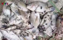 Quảng Trị cần làm rõ hiện tượng cá chết gần khu vực Khu công nghiệp Quán Ngang