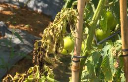 Nông dân Lâm Đồng phá bỏ vườn cà chua do bệnh xoăn lá
