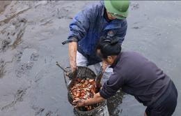 Giá cá giống tại ĐBSCL tăng cao