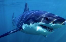 Chưa có cơ sở xác định cá mập xuất hiện ở vùng ven biển Quảng Ninh