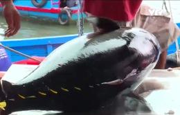 Giá cá ngừ tăng cao, ngư dân không có cá để bán