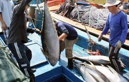 Sản lượng cá ngừ tăng cao