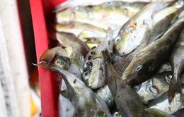 Thu giữ 13 tấn cá nóc không rõ nguồn gốc tại Nghệ An