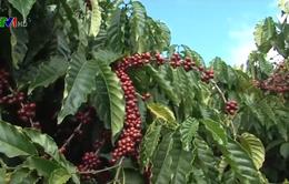 Mô hình liên kết chuỗi phát triển cây cà phê