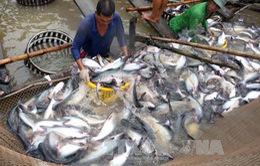 Giá cá tra xuất khẩu cao kỷ lục 10 năm qua