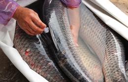 Những lầm tưởng về mật cá trắm có thể khiến trả giá bằng tính mạng