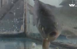 """Công nghệ đặc biệt giúp cá đông lạnh """"sống lại"""" tại Trung Quốc"""
