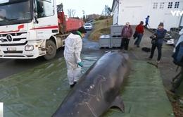 Phát hiện 30 túi nilon trong bụng cá voi
