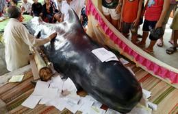 Thêm một cá voi chết dạt vào bờ biển Quảng Ngãi