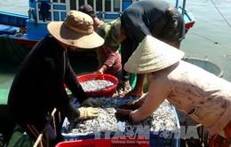 Ngư dân Khánh Hòa trúng đậm mùa cá cơm